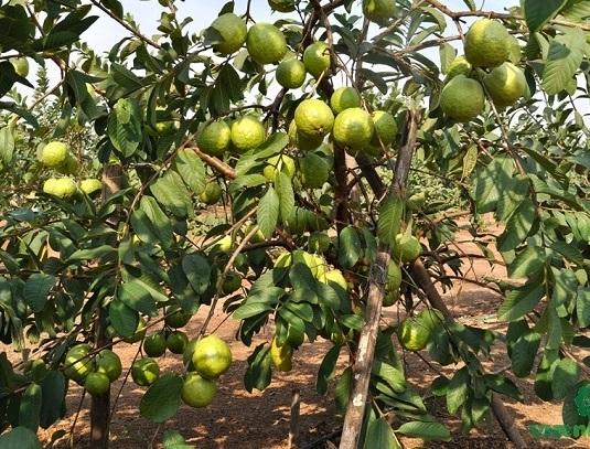 VNR Bihi  Guava